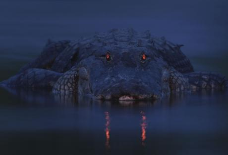Glowing eyes of an alligator at dusk